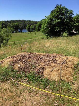 Under halm och löv ligger potatis som bryter mark, gräver jorden och ger skörd.