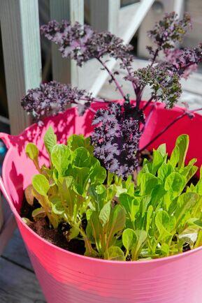 """""""Man blir glad av glada färger!"""" säger Leonor, som odlar sin sallat och kål i en cerise plastbytta."""