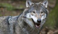 Österrike tillåter gummikulor mot varg