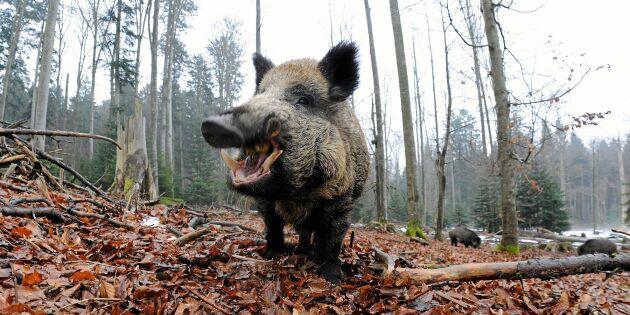 Allt om vildsvin: Tio fakta om det omdebatterade djuret