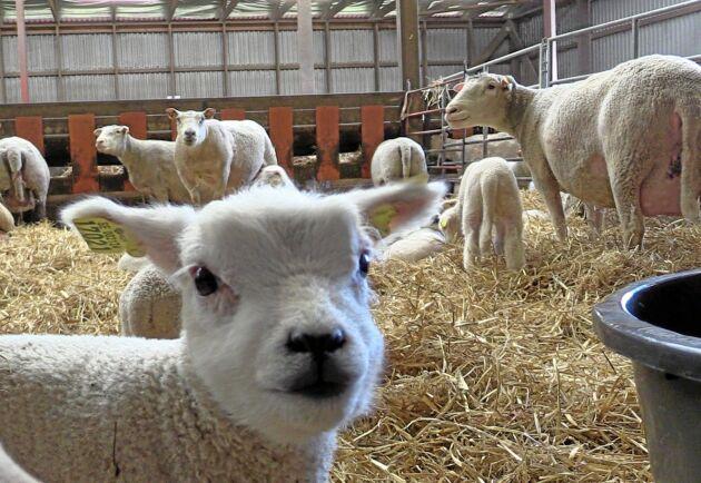 Än så länge går lammen inne på Norrby gård, den kalla våren har försenat betessläppet.