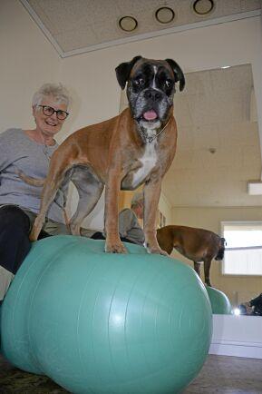 Boxern Käcka balanserar vant på pilatesbollen. Hon är stamkund på Hundfokus och går på gymmet tre dagar i veckan.