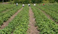 Inhemsk mobilisering räddar finska jordgubbar