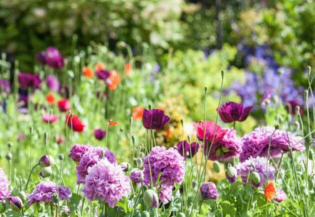 Så många sorters vallmo att njuta av - enkla och dubbla i rosa, rött, vitt och lila. Strö ut i kylan och vänta på blommor till våren.
