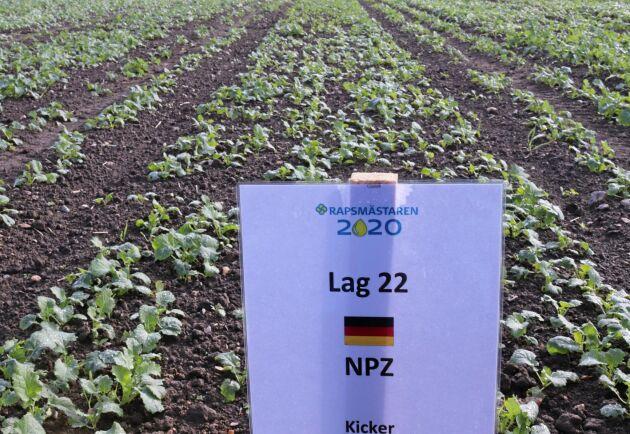 Laget NPZ som representerar ett tyskt växtförädlingsföretag är det enda laget som inte tillfört växtnäring vid sådd. Effekten är att plantan hålls tillbaka, bladen är mindre och sitter närmare plantans tillväxtpunkt.