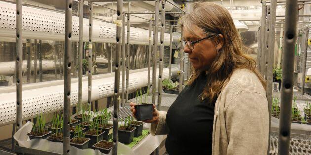 Här gror nya grödor som tål framtidens klimat