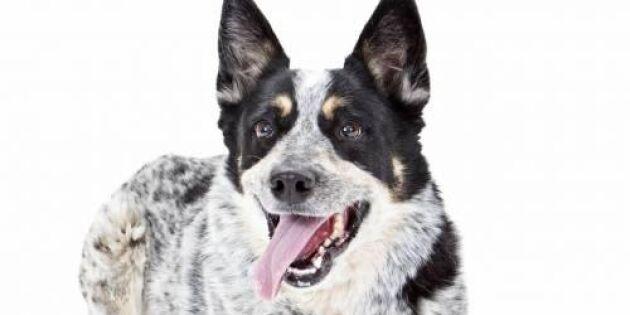 10 smartaste hundraserna – enligt veterinären