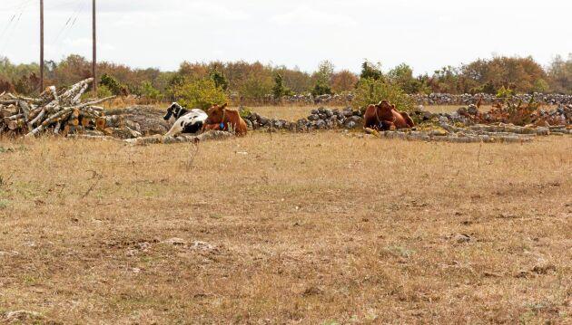 Torkan har drabbat både Öland och Gotland hårt. På norra Öland är betena knastertorra.