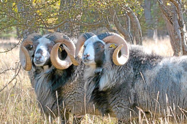 Lokalt monopol. Bara kött får från gutefår som betat på Gotland får säljas under varumärket Hånnlamb i framtiden.