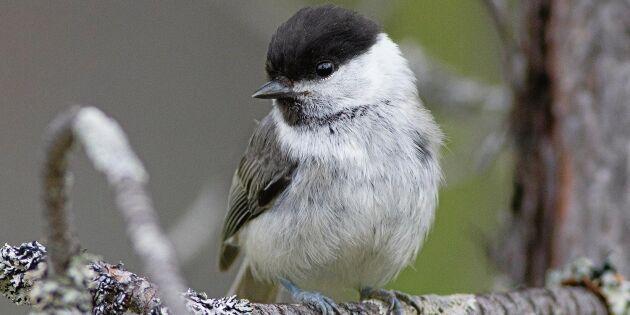 Forskare tvivlar på fåglar – ny skog rik på indikatorer