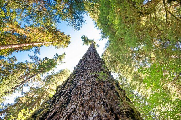 Douglasgran är ett alternativ när klimatet blir varmare, enligt Bo Karlsson, doktor i skogsgenetik vid Skogforsk.