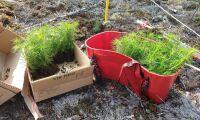 Svenska Skogsplantor bekräftar plantproblem