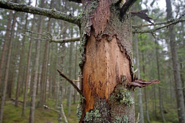 Under oktober-november gjorde Brevens Bruk AB helikopterinventeringar av skogen. De visade stora barkborreangripna granbestånd vilket innebar att bolaget fick göra omprioriteringar av sina avverkningar. Arkivbild