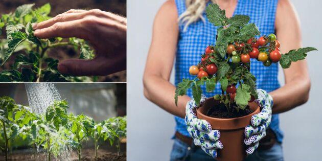 Så får du knubbiga tomatplantor