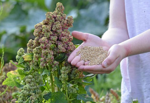 Odla egen quinoa. I år finns fröer att köpa.