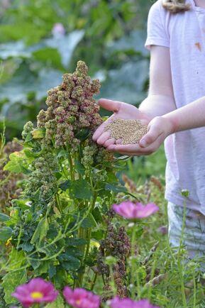 Quinoa är ett bra alternativ till ris eller potatis.