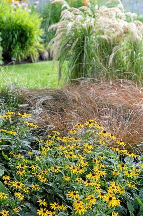 Samplanterade med gräs gör sig rudbeckiorna kanske allra bäst. Här en strålrudbeckia av sorten 'Little Gold Star'.