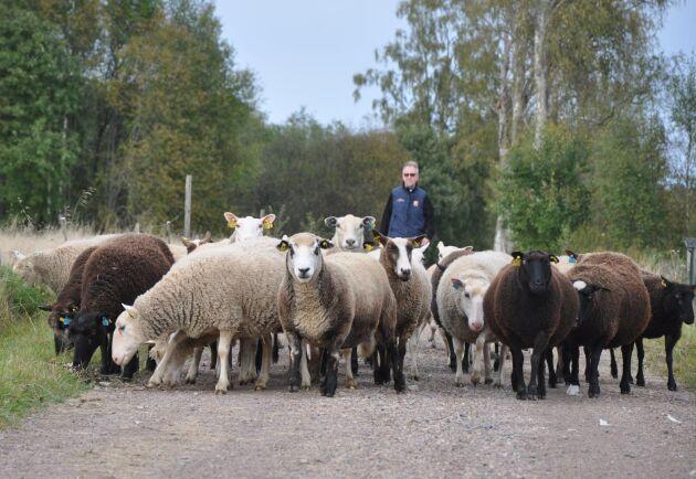 Varje kväll tas fåren in för att de ska skyddas från rovdjur. Som mest hade de 100 tackor – nu har de bara 40 kvar.