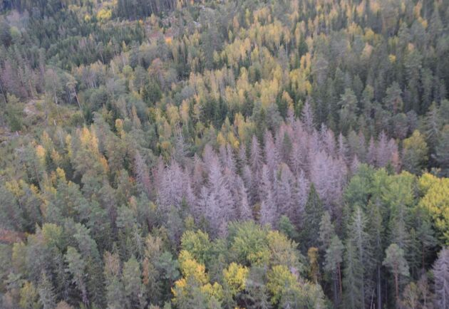 Skog angripen av granbarkborre.