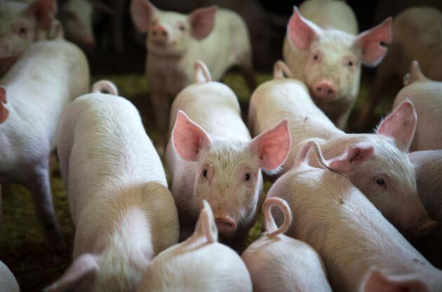 Spermaimporten har resulterat i minst 2000 australiska smågrisar med danska gener.
