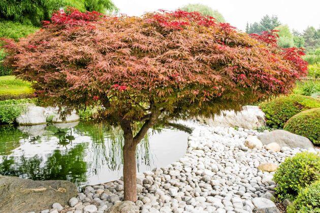 SMYCKESLYCKA. En upprättväxande japansk lönn med välvårdad krona är rena smycket för trädgården. Foto: IBL