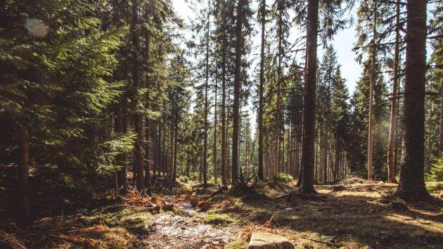 Ingka Investments äger 50 000 hektar skog i Rumänien.
