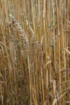 Är dvärgstinksot konstaterat på gården eller i området behöver alla fält betraktas som smittade.