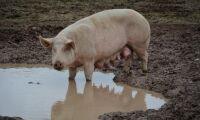 Första fallet av afrikansk svinpest i Rumänien