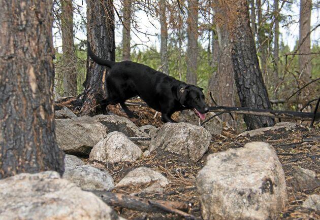 Labradoren Knastra på sök efter osynliga glödhärdar där en brand nyligen härjat.