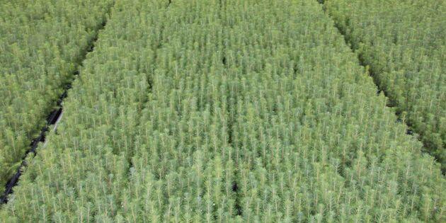 Risk för kraftig prisökning på skogsplant