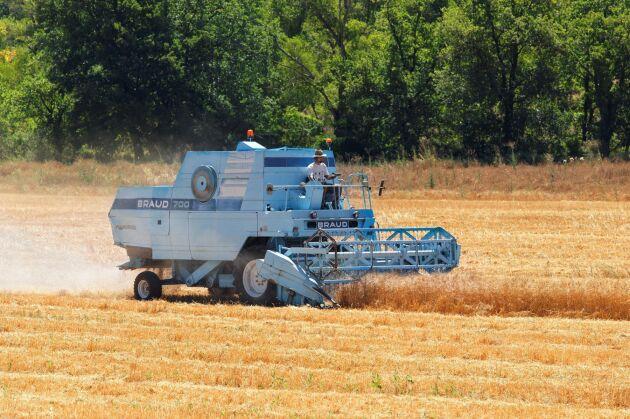 Vete skördas i Provence, France.