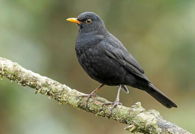 Herr eller fru koltrast? Det är en hane, vilket kan avgöras av den tydligt gula näbben. Notera även hanens gula ögonring. Det svenska beståndet beräknas till cirka 1,8 miljoner par.