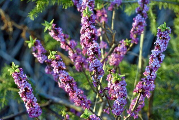 Tibast liknar ingen annan svensk växt när den blommar på bar kvist. Blommorna har fyra kronblad men saknar foderblad, bladen sitter samlade i grenspetsarna.