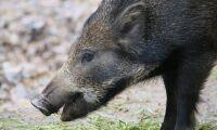 Tysk man dödades av vildsvin under jakt