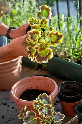 Plantera om i ny kruka. Glöm inte att blötlägga lerkrukan först.