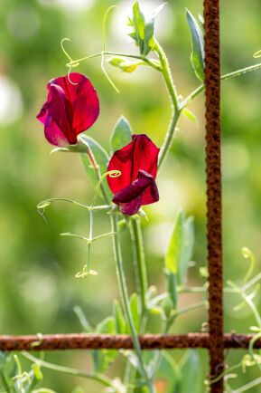 'Scarlett' har djupröda blommor med svag doft.