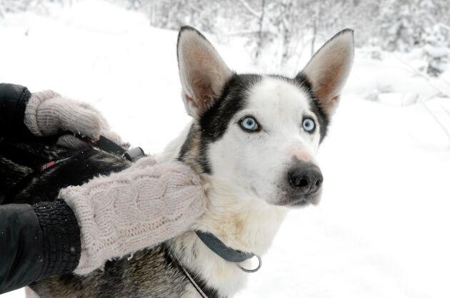 En av parets älskade slädhundar som heter Dopie - en Alaskan husky med isblå ögon.