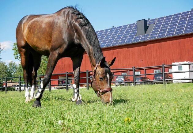 Tävlingshästen Last April njuter av försommargräset i en av hagarna som ligger närmast stallet.