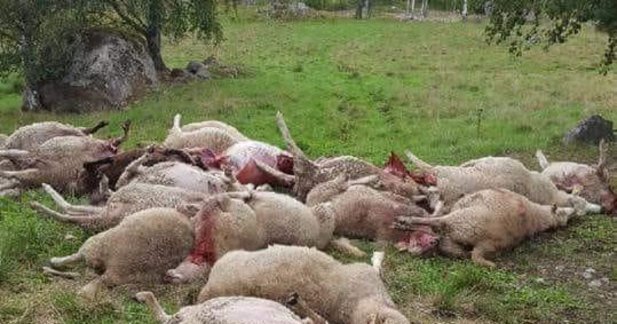 Stängsel med el hjälpte inte mot vargarna – 26 får döda  0867a40676935