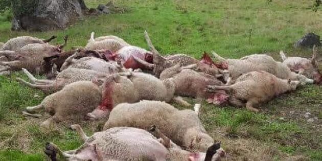 Stängsel med el hjälpte inte mot vargarna – 26 får döda