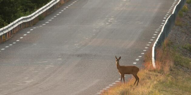 Skyltning kan minska risken för viltolyckor