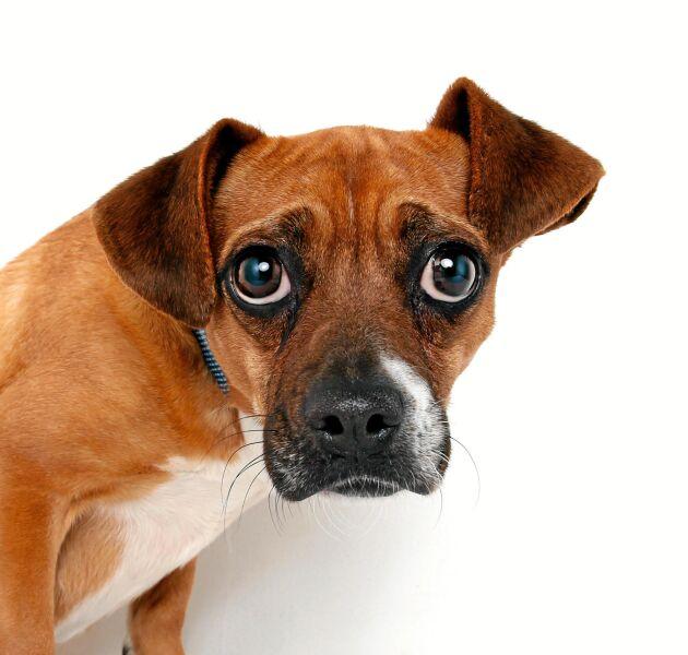 En stressad hund visar det med hjälp av ögonen.