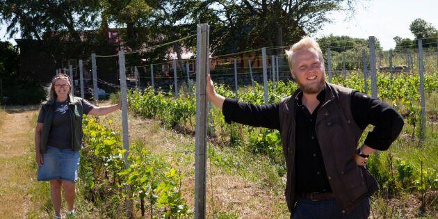 Försöksodling kan ge vingårdarna fler druvsorter