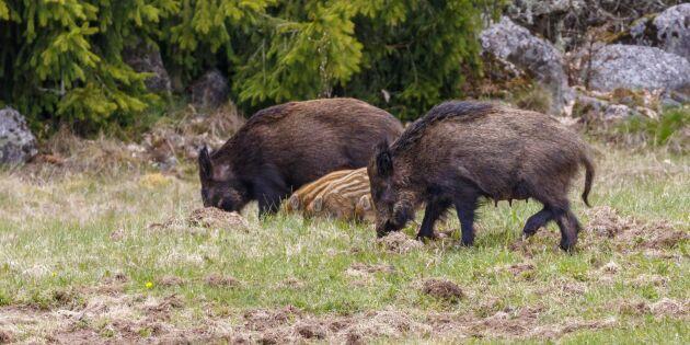 Finska vildsvinsstammen har minskat