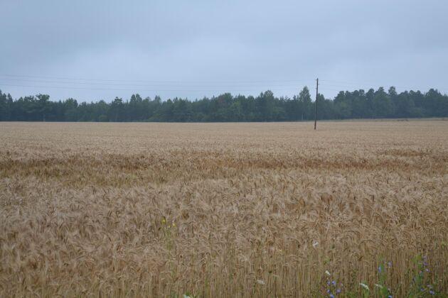 Här kommer några härliga bilder ifrån Gotland, där det äntligen kom en regnskur, som vi har längtat och väntat. /Madeleine Smed