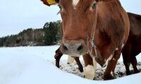 300 mjölkkor fast under inrasat tak