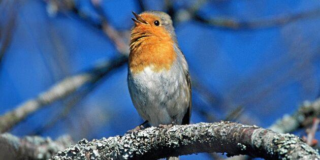 Här är fåglarna som flyttar tillbaka i mitten av mars