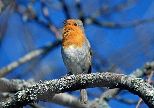 Rödhaken är mångas favoritfågel. Ofta lätt att få syn på och med en silverklingande vacker sång.