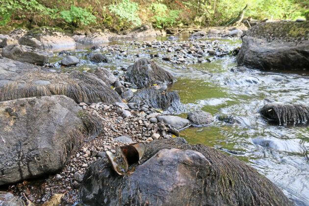 Imälven har klassats som ett nationellt särskilt värdefullt vatten tack vare den stora förekomsten av flodpärlmusslor. Men när vattenfåran stod torr i somras så dog ett stort antal musslor.