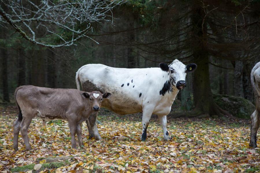 Land.se skriver om den utortningshotade rasen fjällnära boskap.